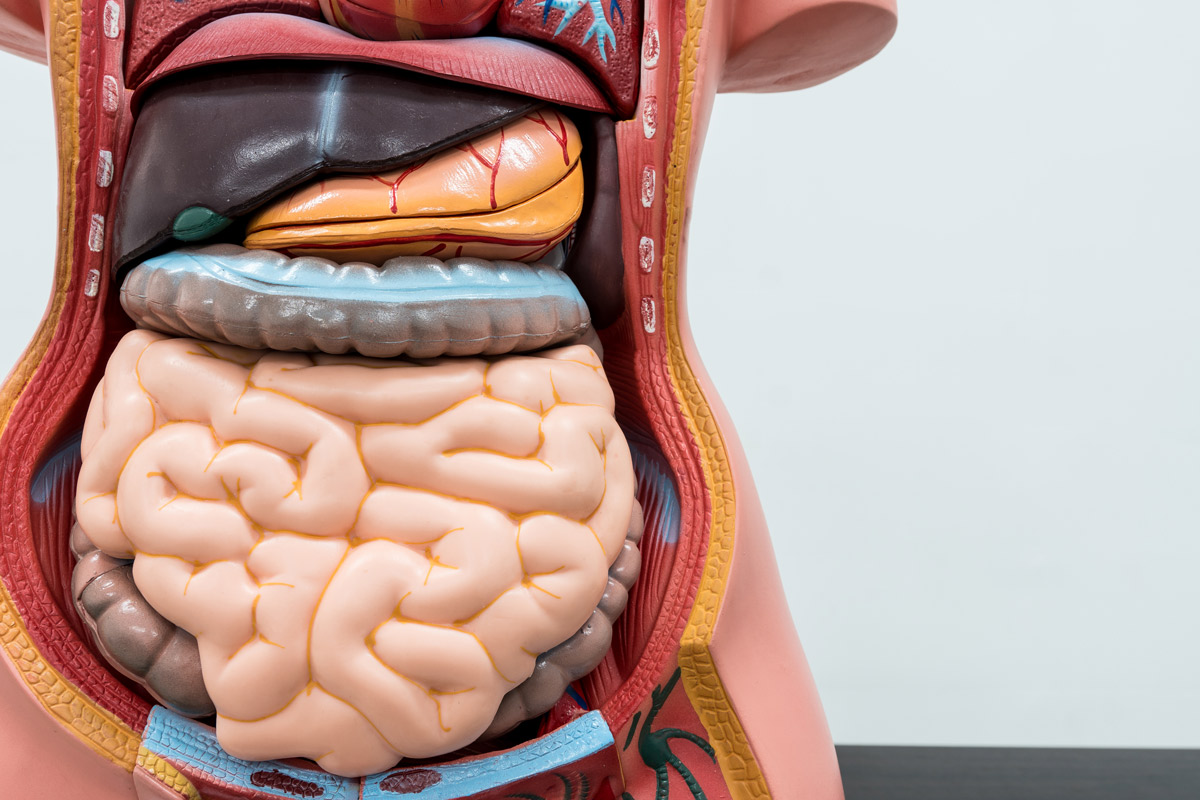 anatomical model of the digestive system