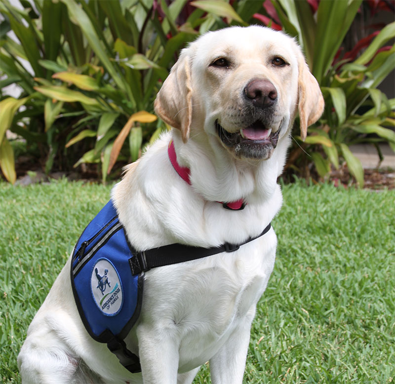 Labrador retriever dog wearing service vest